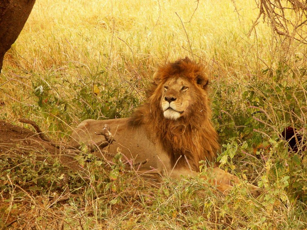 Lion dans le parc national du Serengeti en Tanzanie.