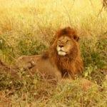 Lion dans le parc national du Serengeti en Tanzanie, safari en Afrique