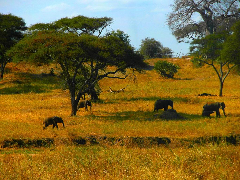 Les éléphants du parc national du Tarangire, safari en Tanzanie, Afrique