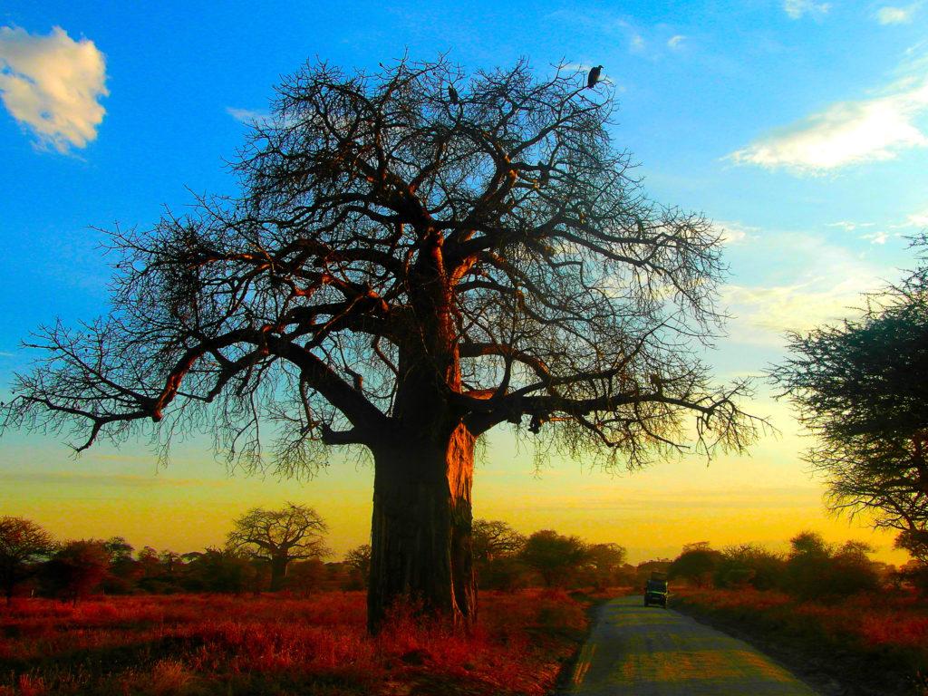 coucher de soleil dans le parc national du Tarangire, safari en Tanzanie.