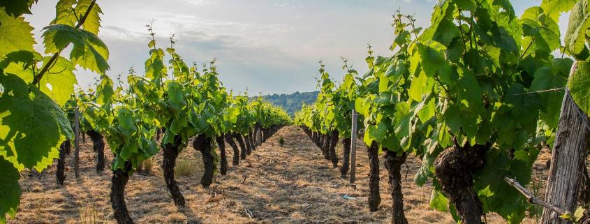 Découvre la région du Beaujolais, rendue célèbre par ses vins avec ma sélection des plus belles balades. Au menu : le Mont-Brouilly, les Pierres dorées et Grandris.