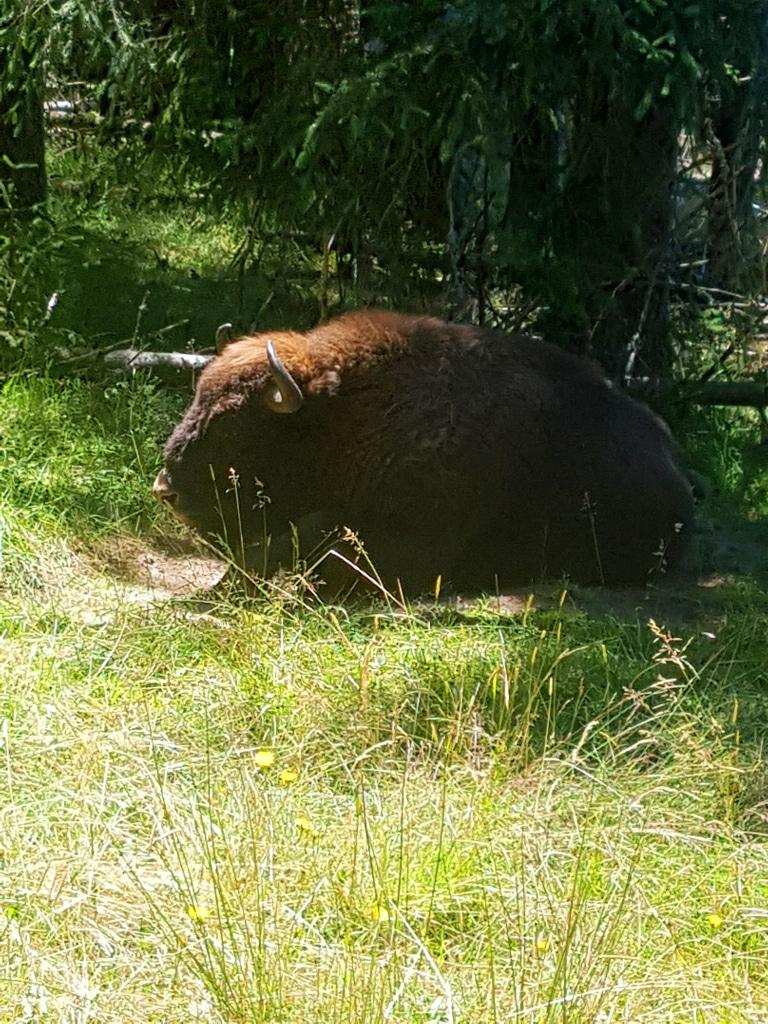 Lozère incontournable : la réserve des bisons d'Europe