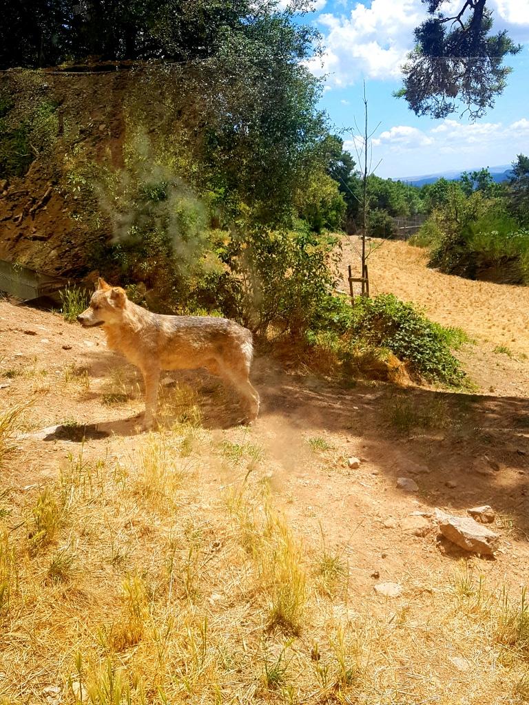 Les loups du parc des loups du Gévaudan